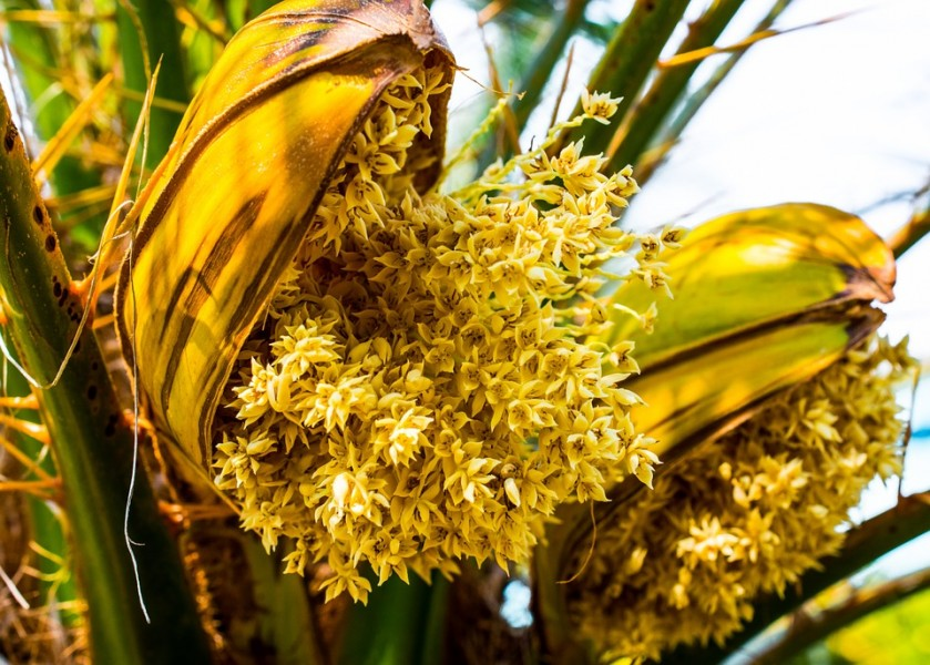 Quelles sont les vertus du pollen de palmier ?